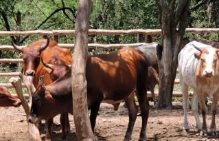 Macharetí fue declarado municipio Productor de carne y miel ecológicas, libre de transgénicos