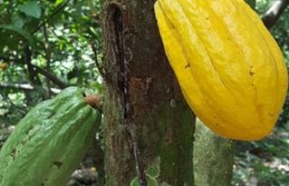 Cacao boliviano para el mundo