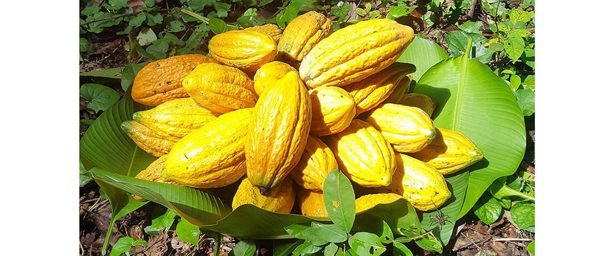 Jornada Científica del Cacao Nativo Amazónico 2020 se realizará el próximo 04 de diciembre