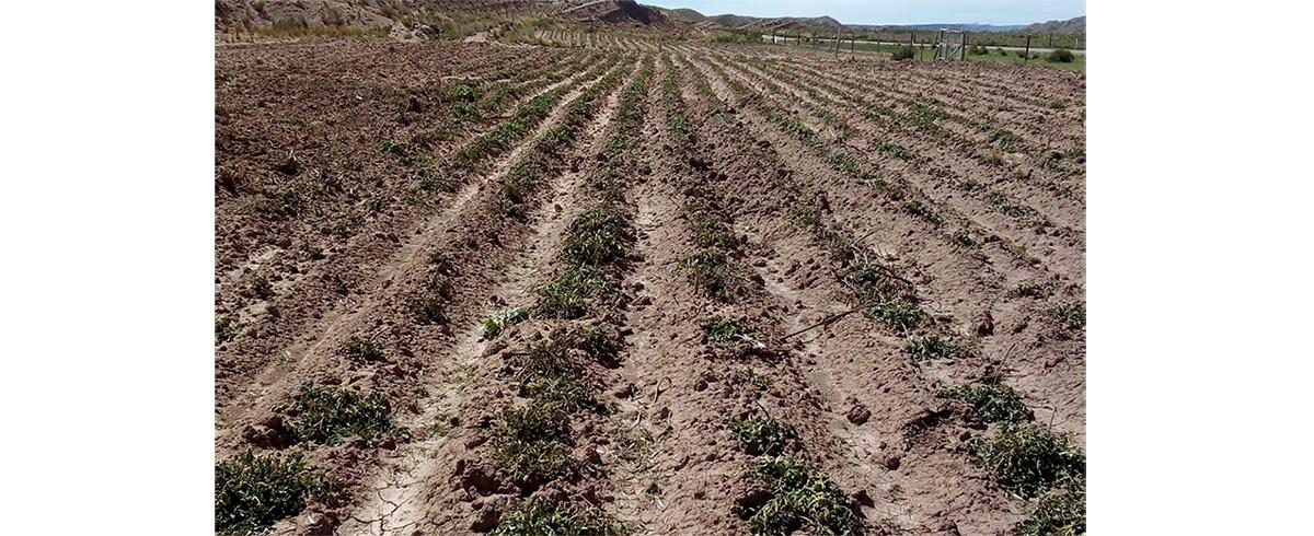 La Niña es imprevisible: heladas afectan a la producción de los cultivos agrícolas en el altiplano