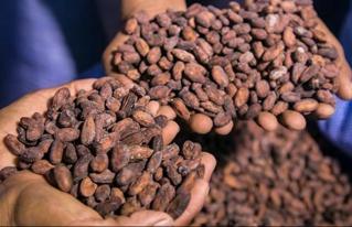 """20 muestras de cacao y chocolate bolivianos compiten rumbo al """"Cocoa Awards en París"""""""
