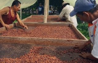 El cacao nativo amazónico goza de reconocimiento internacional por su calidad