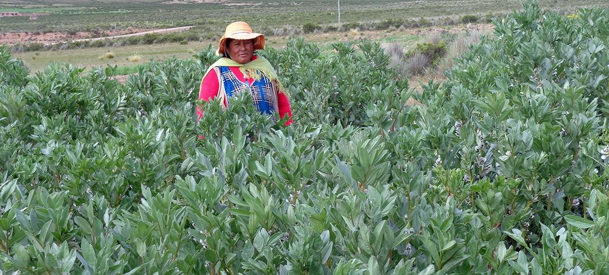 Buena producción de cultivos gracias a las lluvias en el Altiplano