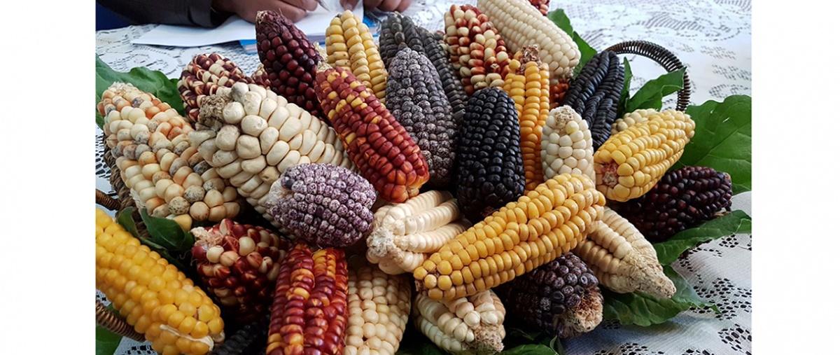 Bioseguridad para el maíz, no perdamos nuestra riqueza genética