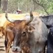 Guaraníes de Macharetí: Los guardianes fronterizos que impulsan una ganadería comunitaria